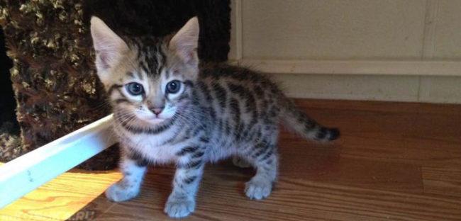 Кошка в 1 месяц