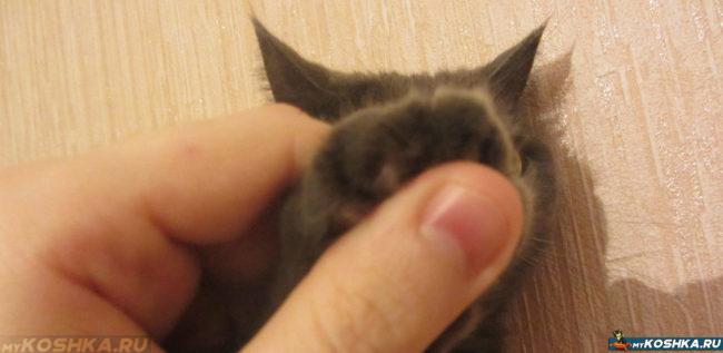 Кошка с удалёнными когтями