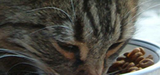 Кошка ест сухой корм премиум-класса