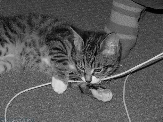 Котёнок грызёт электрические провода