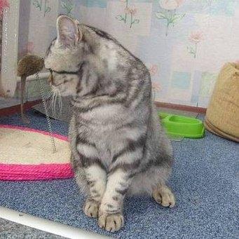 Кошка хромает на заднюю лапу
