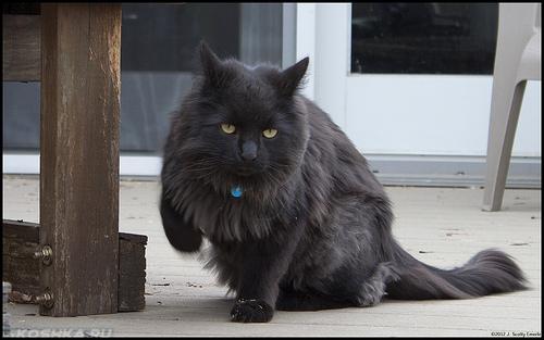 Кошка хромает на переднюю лапу