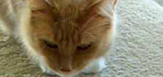 Кошка кашляет вытягиваясь и прижимаясь к полу