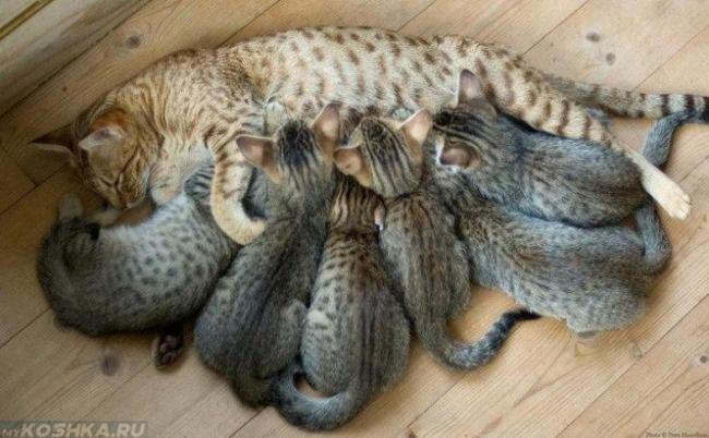 Коричневая кошка кормит шестерых котят на деревянном полу