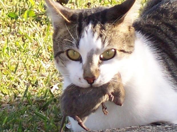 Кошка поймала мышь и тащит её в дом