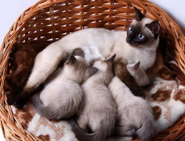 Сиамская кошка кормит котят в плетеной корзине на одеяле