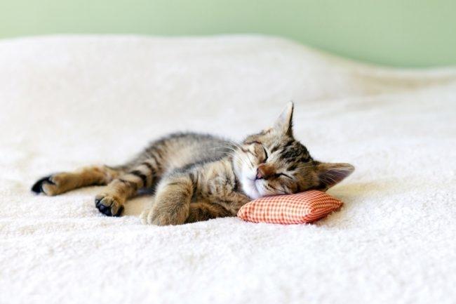 Маленький котик спит на подушке
