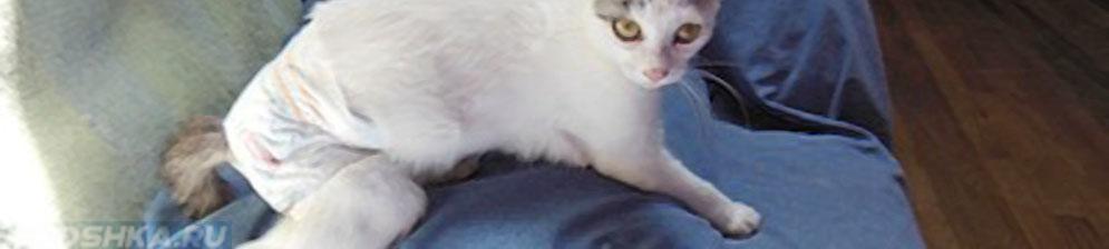 Кошка в памперсе после выпадения прямой кишки