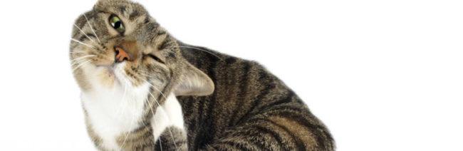 Кот интенсивно чешет за ухом