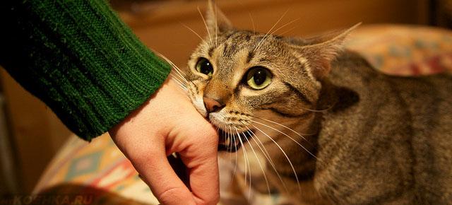 Кот грызёт руку хозяина