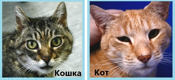 Отличия кота от кошки