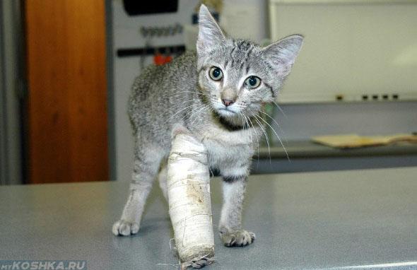 Передняя лапа в гипсе у котёнка