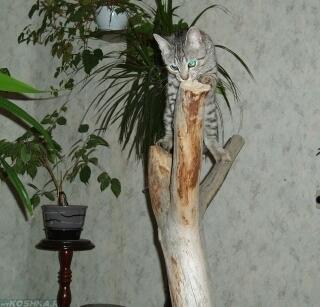 Котёнок точит когти об сухую ветку