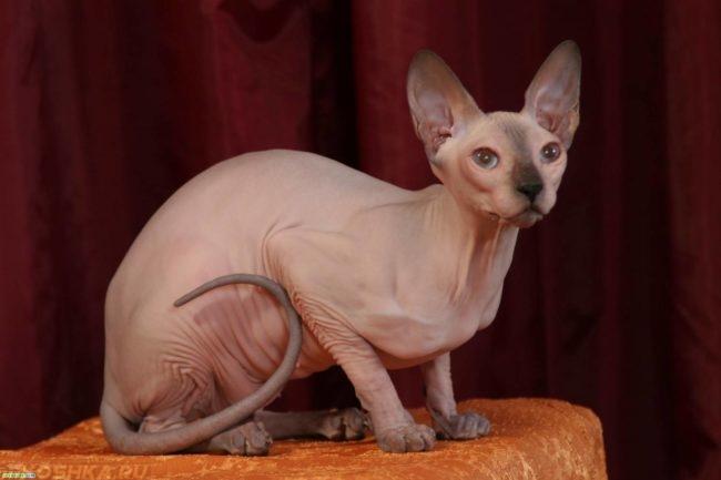 Лысый кот присел на кушетке