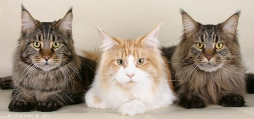 Мейн-Кун коты трое