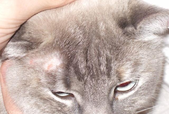 Грибок микроспории у кошки на голове
