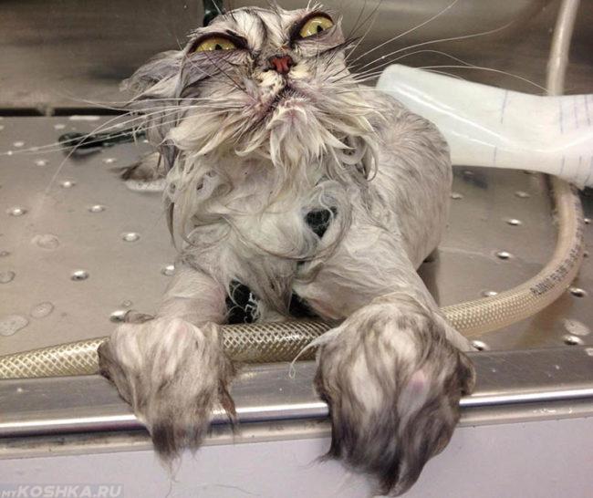 Мокрый кот после купания