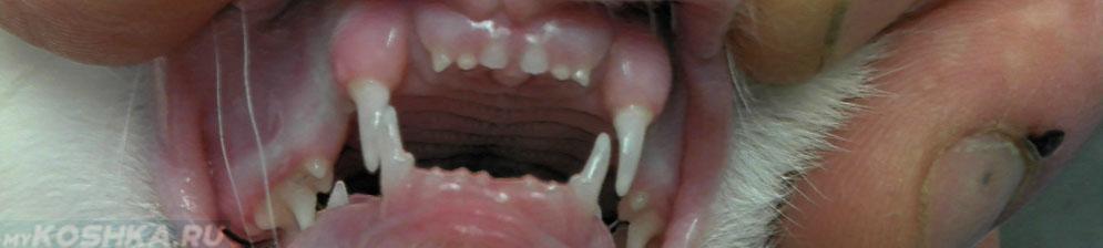 Молочные зубы у котёнка вблизи