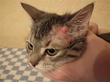 Натоедроз у кошки на морде