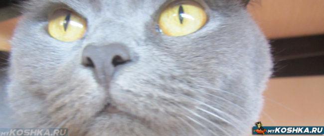 Нос без насморка у британской здоровой кошки