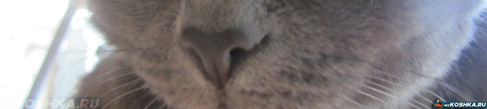 Сухой горячий нос британской кошки вблизи