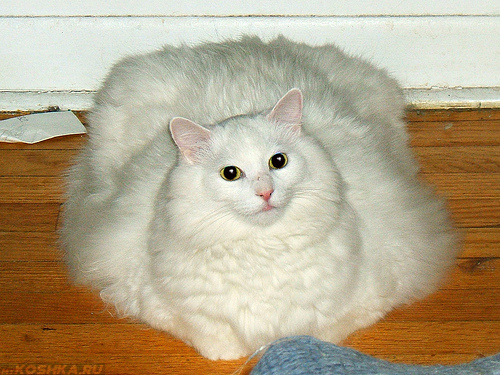 Кошка страдающая от ожирения