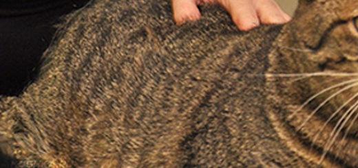 Осмотр кошки на панкреатит у ветеринара