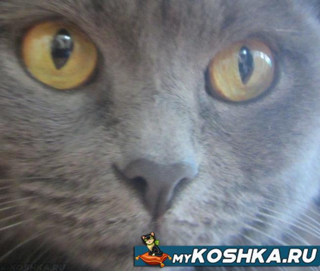 Осмотр носа у британской кошки