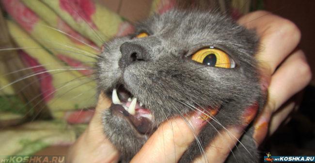 Осмотр ротовой полости у британской кошки