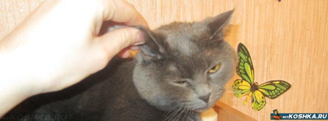 Выворачиваем ухо кошке для осмотра и лечения