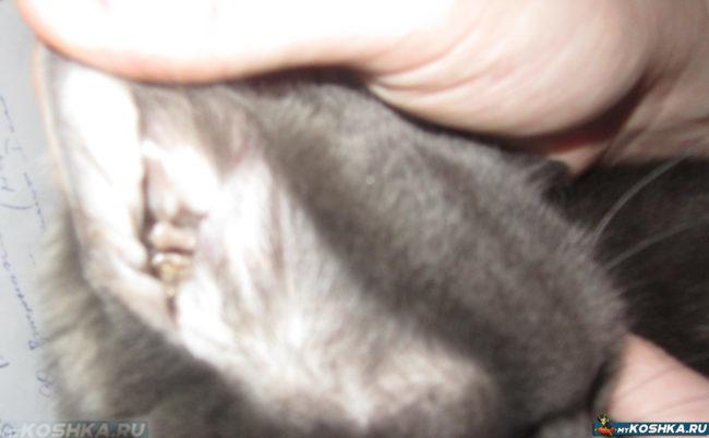 Осмотр ушей у кошки на демадекоз