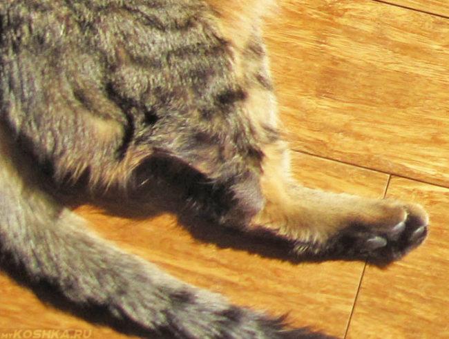 Осмотр задней лапы у кошки