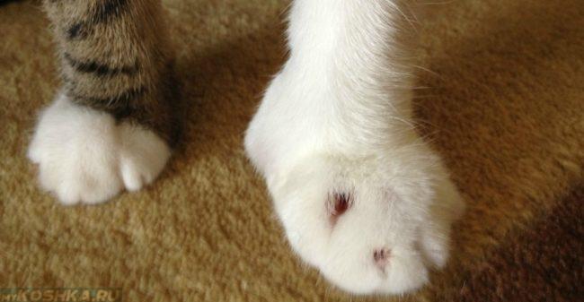 Сильный отёк лапы у кошки
