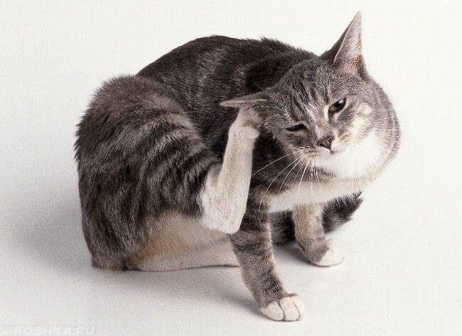 Серый кот чешет лапой ухо