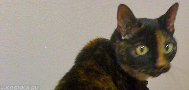 Панический взгляд у кошки