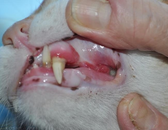 Гингивит у белого кота в увеличенном виде