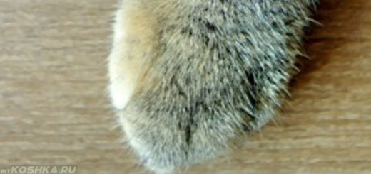 Передняя лапа у кошки подушечки