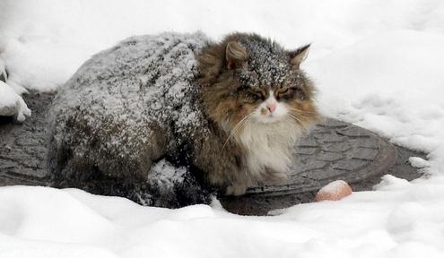 Пушистая кошка согревается от переохлаждения зимой на люке