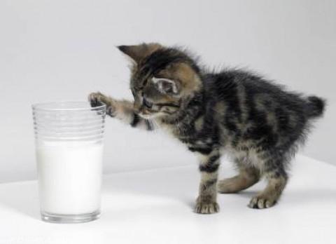 Маленький серый котёнок играет со стаканом молока