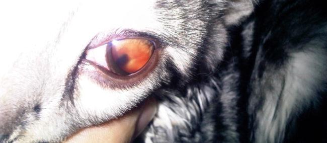 Сильно покраснел глаз у кошки