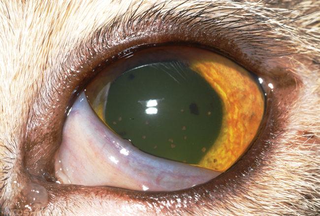 Помутнение роговицы глаза у кошки при кератите