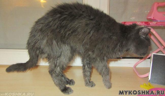 Кошка с мокрыми ушами после купания