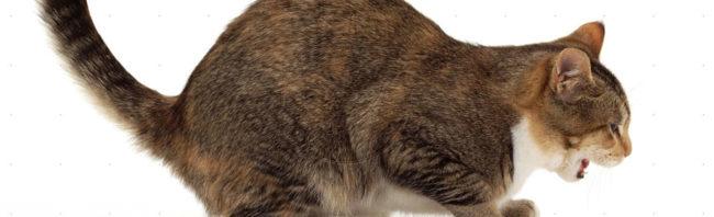 Рвота у беременной кошки