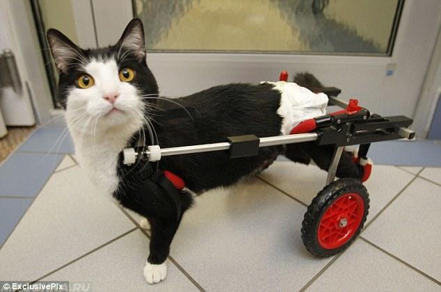Кошка на каталке при переломе задней лапы