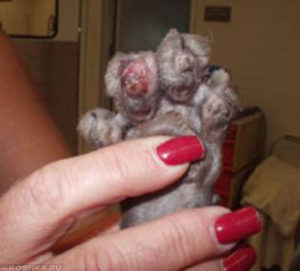 Лапа кошки после удаления когтей