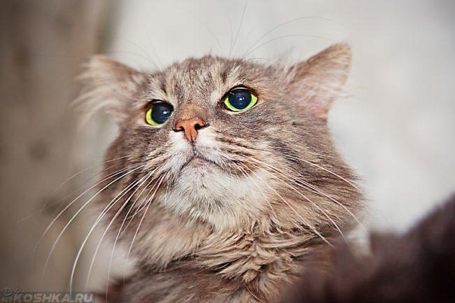 Серая пушистая кошка с белыми усами смотрит вверх