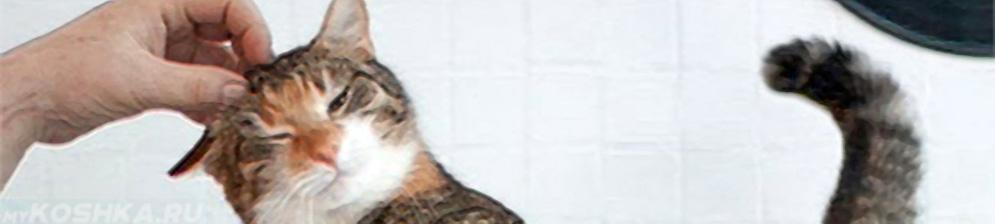 Кошка лоснится к хозяину в период течки