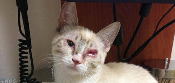 Механическая травма глаза у кошки
