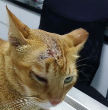 Кот разодрал за ухом