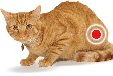 Схематическое изображение воспаления уроцистита у кошки